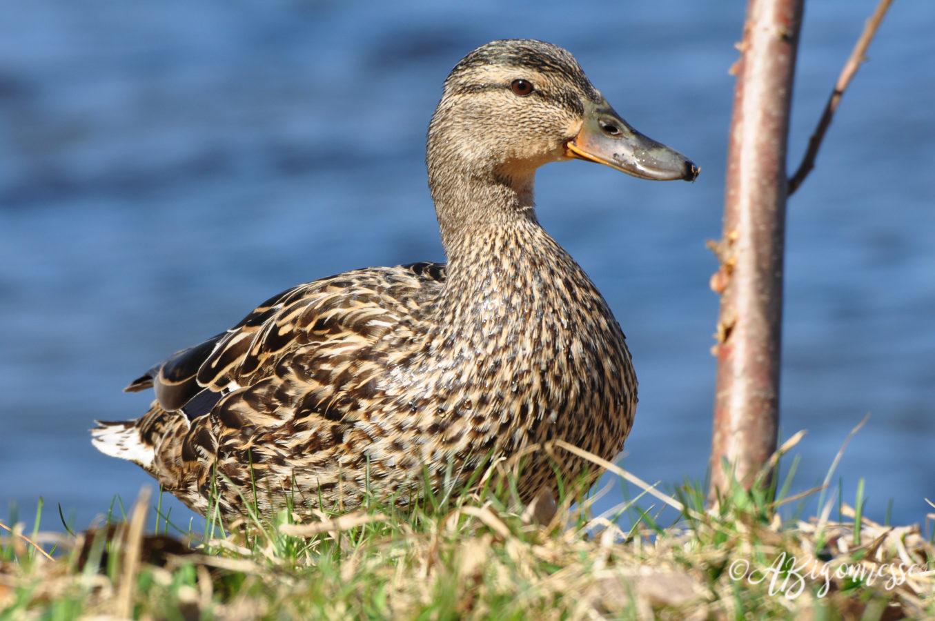Canard colvert, femelle