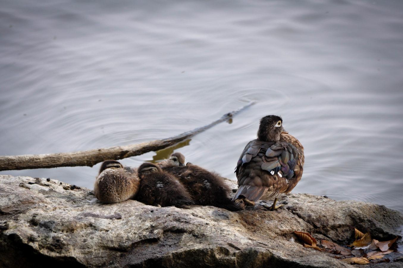 Maman canard branchu et ses canetons
