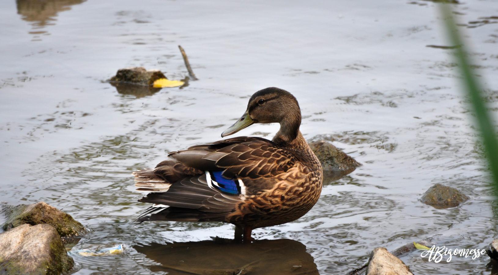Canard colvert - femelle