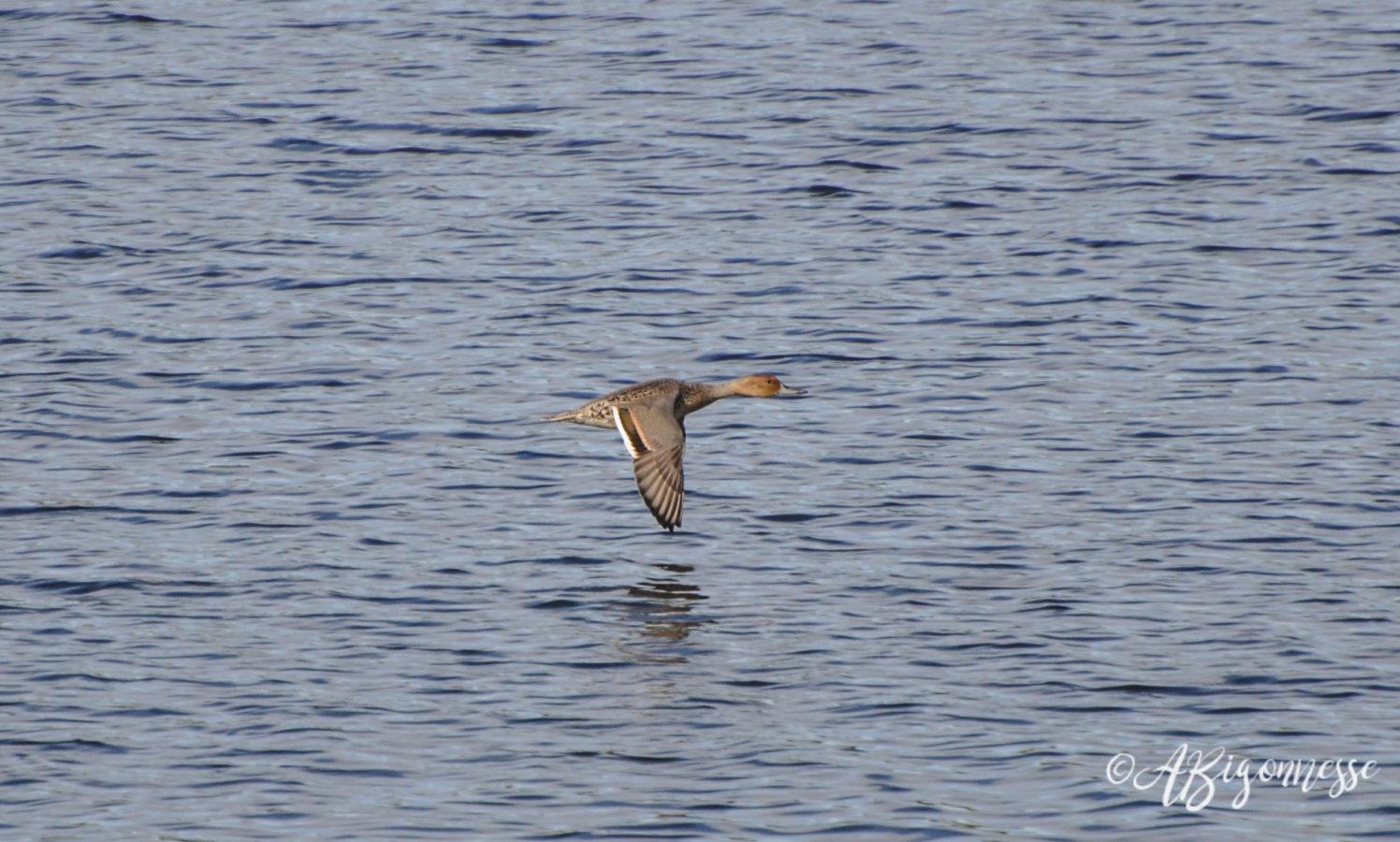 Canard pilet en vol
