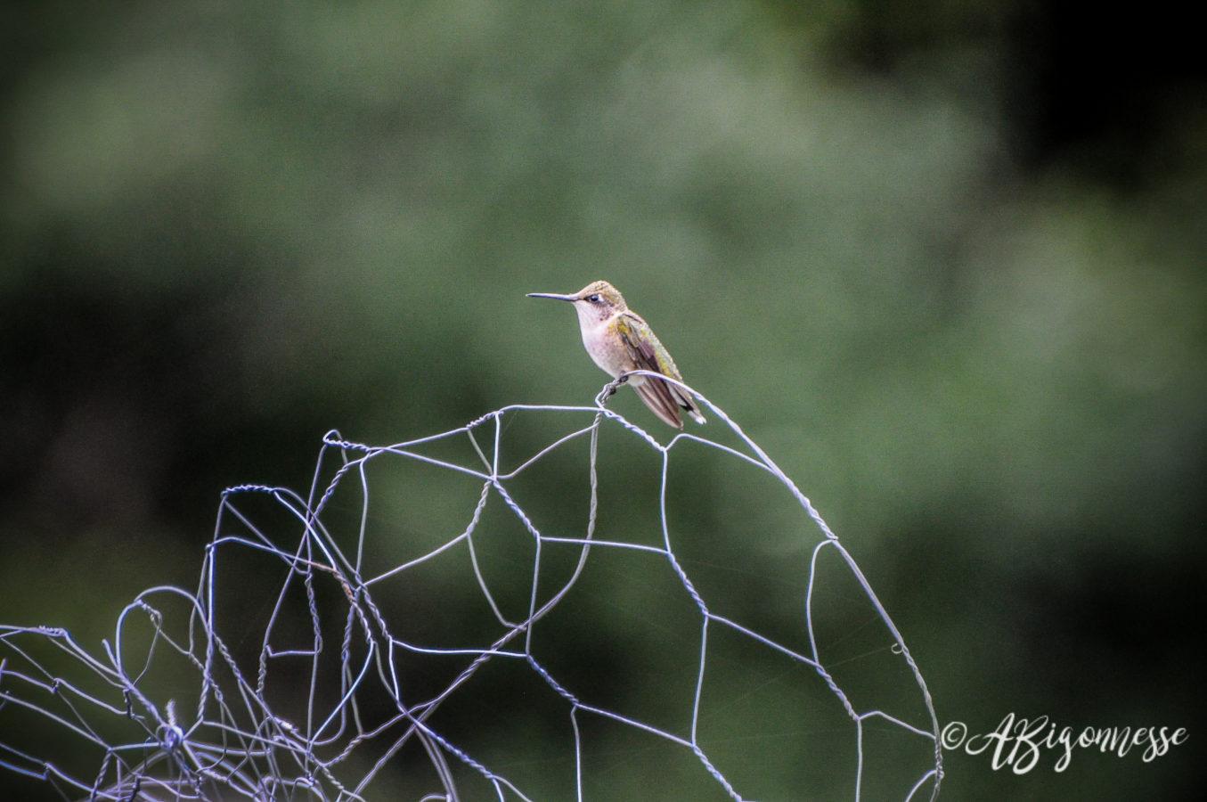Colibri à gorge rubis, femelle